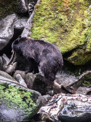 The bear necessities Ketchikan Alaska