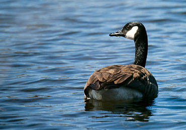 Cackling Canadian Goose in Southeast Alasks