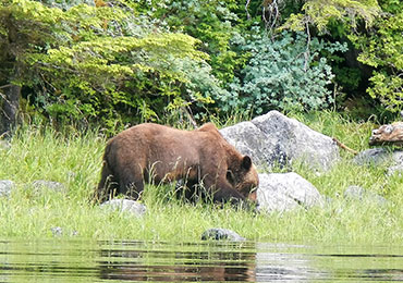 Brown bears of the southeast