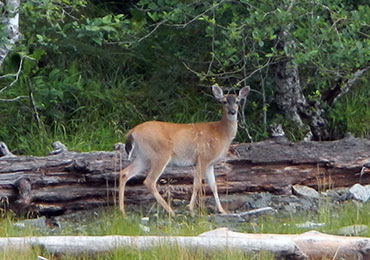 Sitka black-tailed deer in the woods