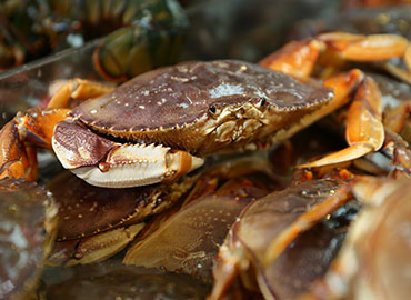 Alaskan Dungeness Crab Species
