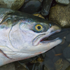 All that you need to know                 about Alaska's salmon, halibut and bottom fish.