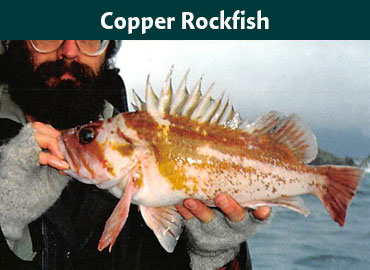 Alaska Copper Rockfish