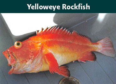 Alaska Yelloweye Rockfish